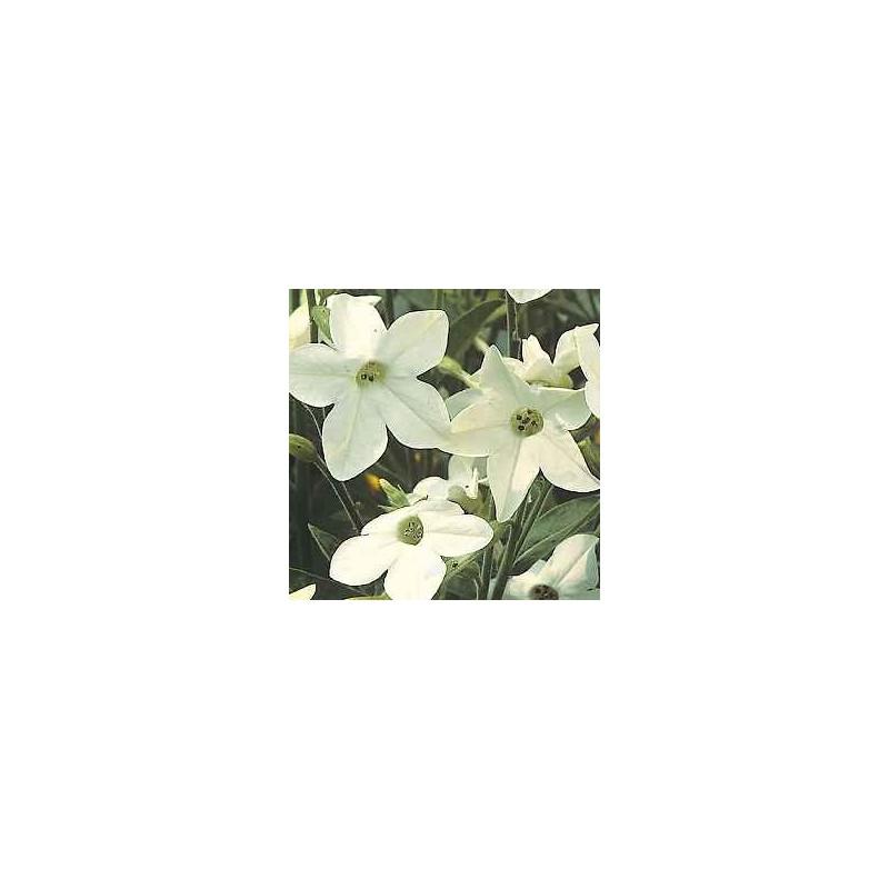 nicotiana perfume white.jpg