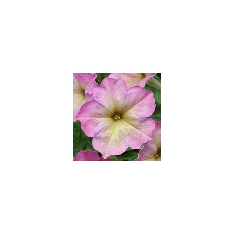petunia deboniar dusty rose.jpg