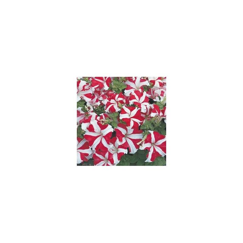 petunia tritunia red star.jpg