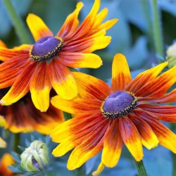Rudbeckia Autumn Forest
