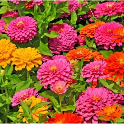 Zinnia Magellan Mix NEW