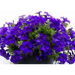 Petunia Storm Blue
