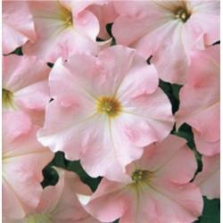 Petunia Dreams Appleblossom
