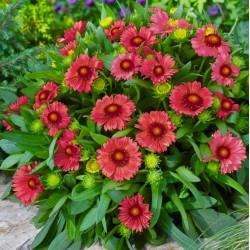 Gaillardia Arizona Red...