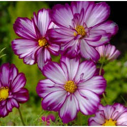Cosmos Fizzy Rose Picotee