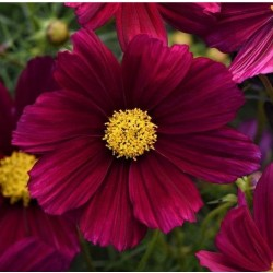 Cosmos Sonata Purple NEW