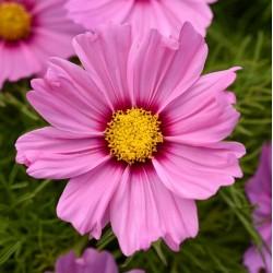 Cosmos Sonata Pink Blush NEW