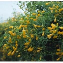 Eccremocarpus Tresco Gold