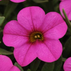 Calibrachoa Kabloom Deep Pink