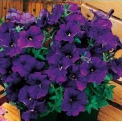 Petunia Mini Max Midnight Blue