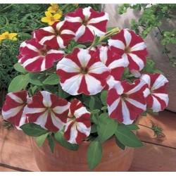 Petunia Primetime Red Star NEW
