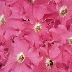 Petunia Storm Pink