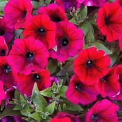 Petunia Storm Red