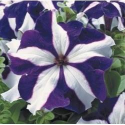 Petunia Tritunia Blue Star
