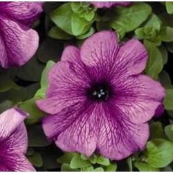 Petunia Tritunia Plum