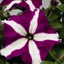 Petunia Tritunia Purple Star
