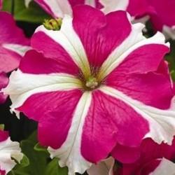 Petunia Tritunia Rose Star