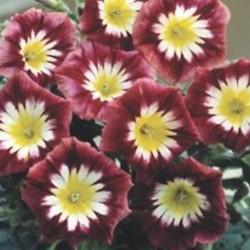 Convolvulus Ensign Red