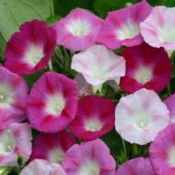La Vie en Rose Morning Glory