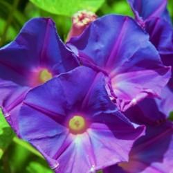 Purple Passion Morning Glory