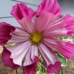 Cosmos Pied Piper Blush