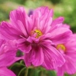 Cosmos Fizzy Pink Dark Eye