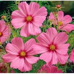 Cosmos Gloria NEW