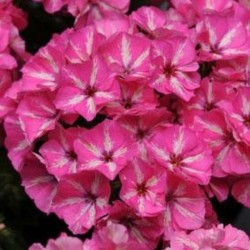 Phlox Grammy Pink and White