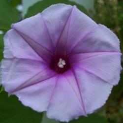 Moonvine Lavender