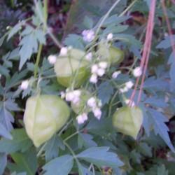 Cardiospermum halicacabum...