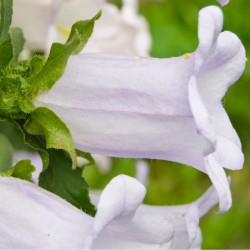 Cobaea scandens White Cup...