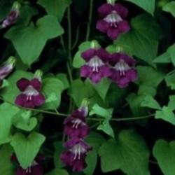 Asarina scandens Mystic Purple