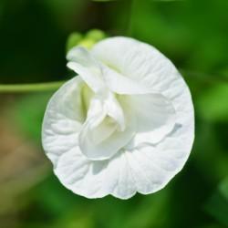 Clitoria Double White Lady