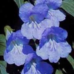 Asarina scandens Sky Blue