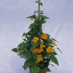 Thunbergia Susie clear-eyed...