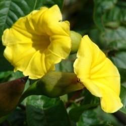 Merremia Tuberosa Hawaiian...
