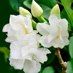 Gardenia jasminoides Cape...