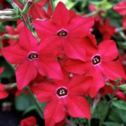 Nicotiana Perfume Red