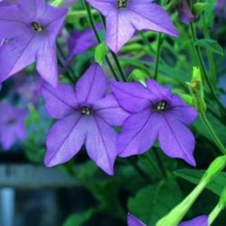 Nicotiana Perfume Blue