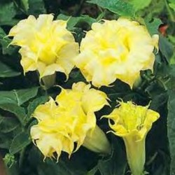 Datura Yellow Ballerina NEW