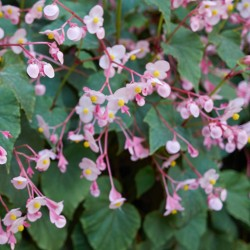 Begonia grandis, hardy