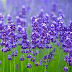 Lavender Ellegance Sky