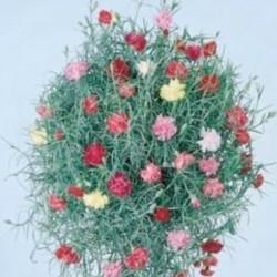 Carnation Cascading Clove...