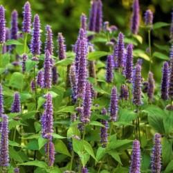 Agastache Lavender Haze NEW