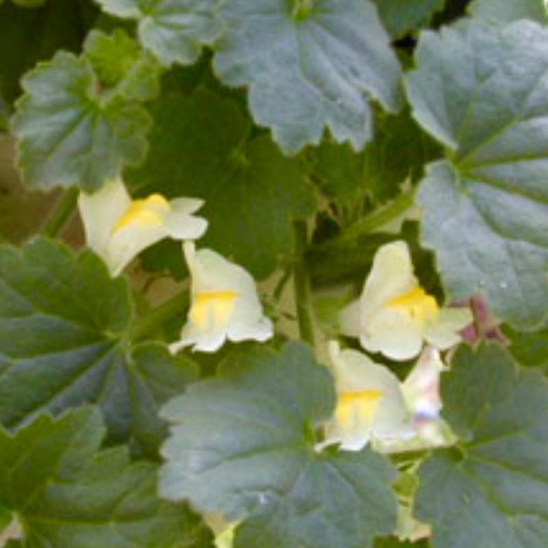 Asarina procumbens 20 seeds
