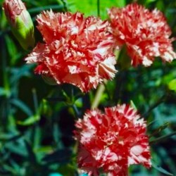 Carnation Chabaud Red