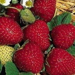 Strawberry Ananassa