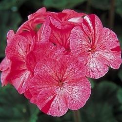 geranium raspberry ripple.jpg
