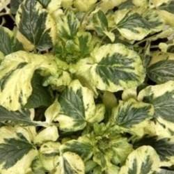 Barbarea vulgaris variegated