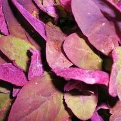 Orach Purple Passion